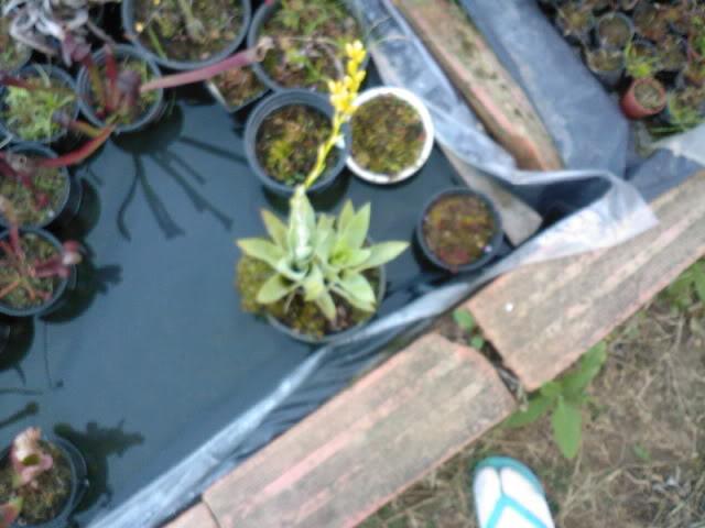 Some rare plants (Cobra, Drosop, Styl,...) Maio2009021