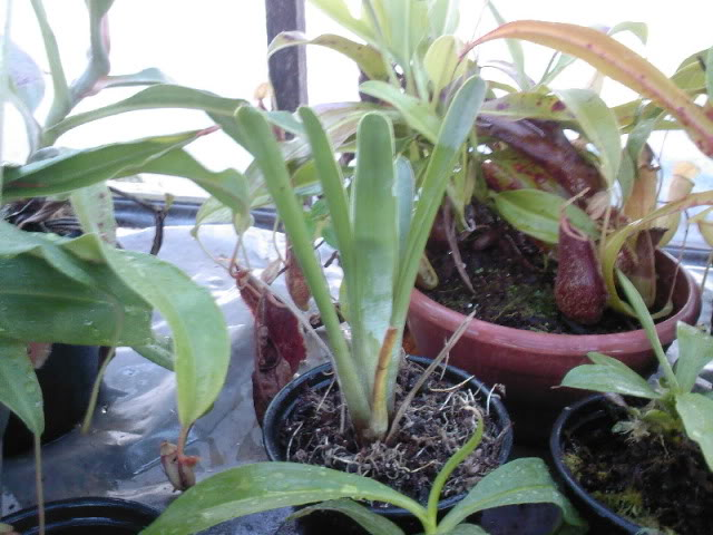 Some rare plants (Cobra, Drosop, Styl,...) Maio2009028