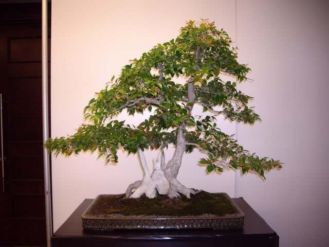 Photos of 6th World Bonsai Convention in PR IMGP6106_resize