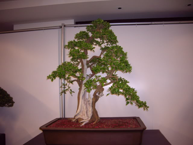 Photos of 6th World Bonsai Convention in PR IMGP6115_resize