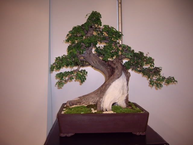 Photos of 6th World Bonsai Convention in PR IMGP6126_resize