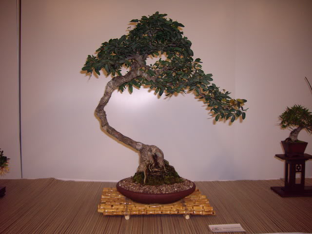 Photos of 6th World Bonsai Convention in PR IMGP6168_resize
