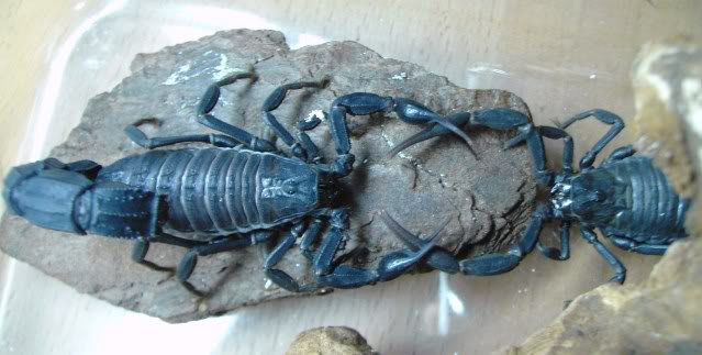 Couple of scorpion mating pics :) 24952e1f