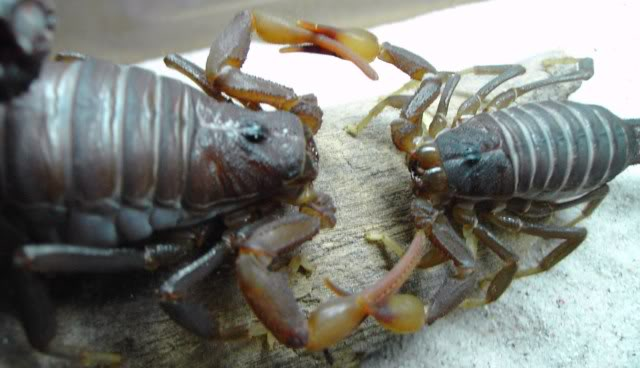 Couple of scorpion mating pics :) 51f0c2c2