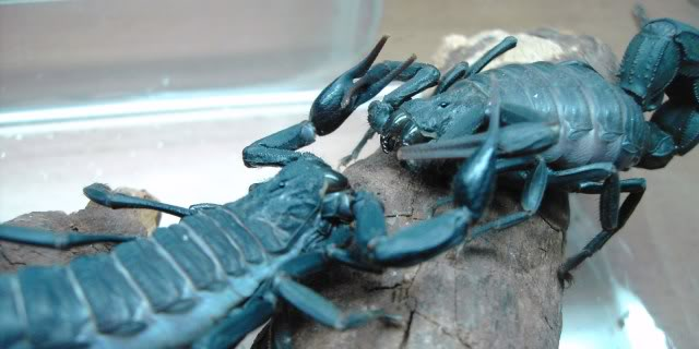 Couple of scorpion mating pics :) 7abf97e0
