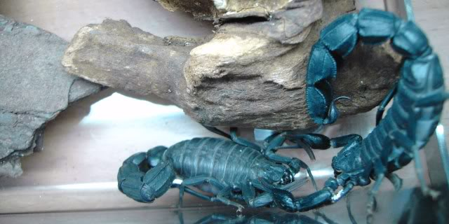 Couple of scorpion mating pics :) 93a0c2c6