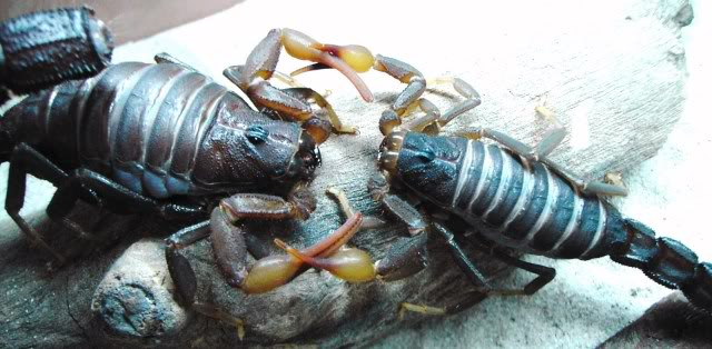 Couple of scorpion mating pics :) Ce17893a