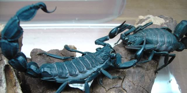 Couple of scorpion mating pics :) F37c19cd