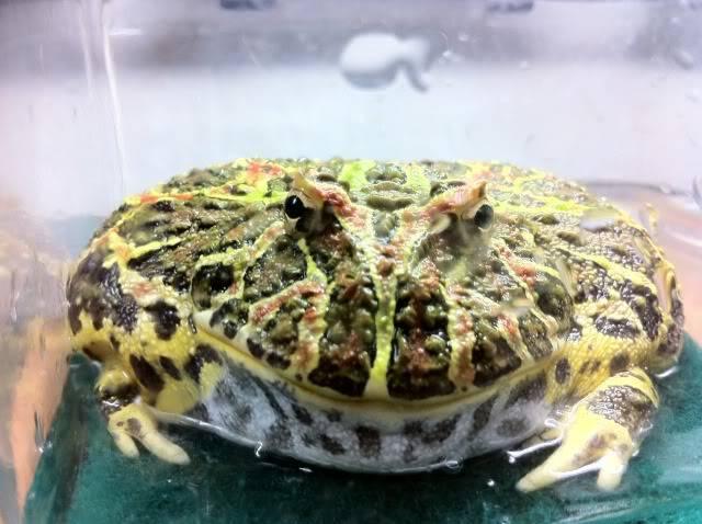 Albino Pacman Frog (Ceratophrys Cranwelli) 27c099bc