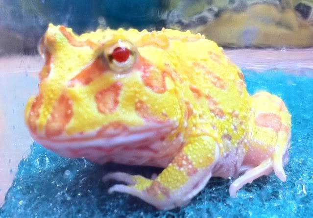 Albino Pacman Frog (Ceratophrys Cranwelli) 85a779f9