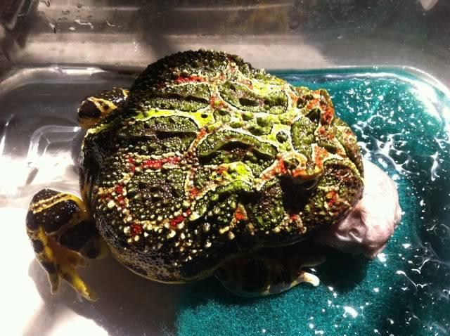 Albino Pacman Frog (Ceratophrys Cranwelli) 9535e741