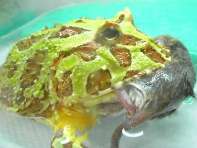 Albino Pacman Frog (Ceratophrys Cranwelli) PICT7422