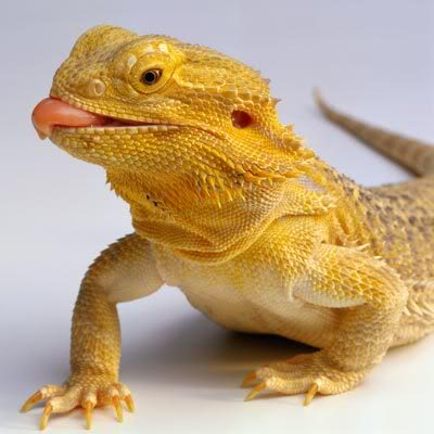 Cuteness!! - Page 2 Bearded-dragon