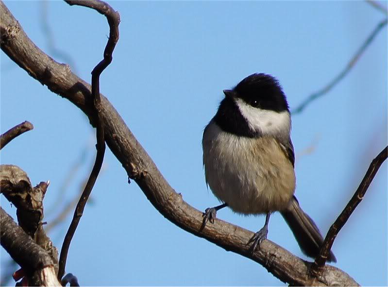 Josh's Project Bird Feeder Watch Carolinachickadee
