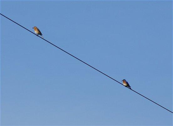Josh's Project Bird Feeder Watch - Page 2 EasternBlubird3