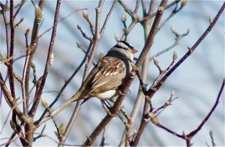 Josh's Project Bird Feeder Watch White-crownedsparrow