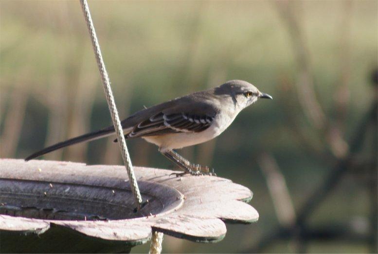 Josh's Project Bird Feeder Watch - Page 2 Femalejay
