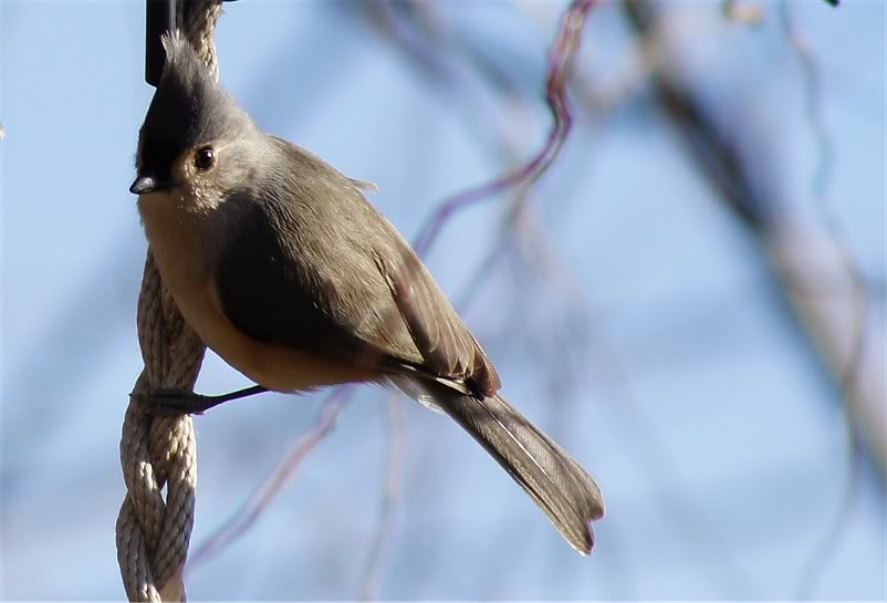 Josh's Project Bird Feeder Watch Titmouse1