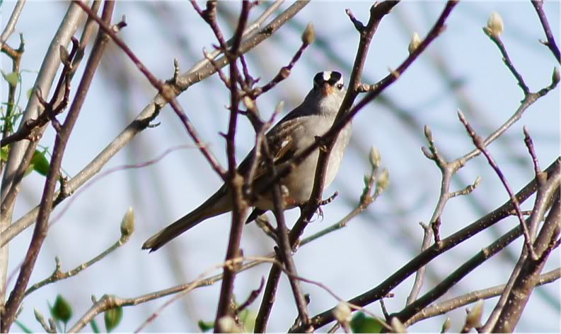 Josh's Project Bird Feeder Watch Whitecrownedsparrow2