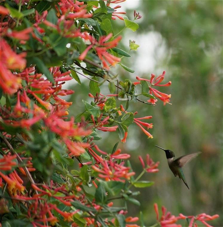 Coral Honeysuckle Hummingbird_zps2cd25e95