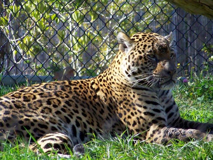 Leopard Lepard_zps51423b0a