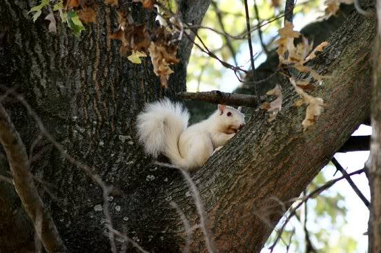 white squirrels Whitesq