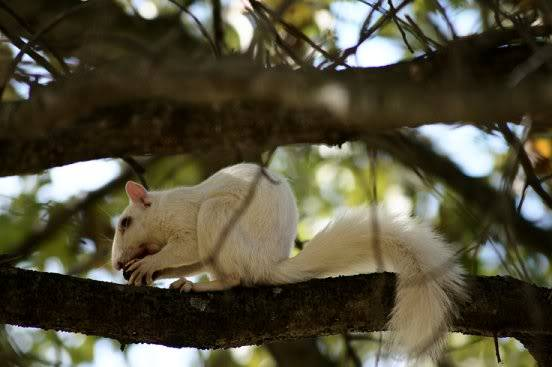 white squirrels Whitesq2