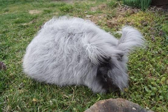 English Angora Rabbit's wool is growing  DoveL_zps9796ddd7