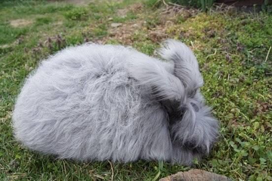 English Angora Rabbit's wool is growing  Dove_zpsd83d874c