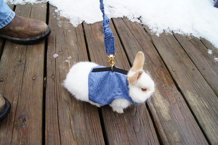 Rabbit Walking Jacket SpenSirwithhisnewvestandleash_zps02d3f9df