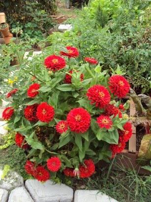 Zinnias are Josh's favorite flower Bushzinnia