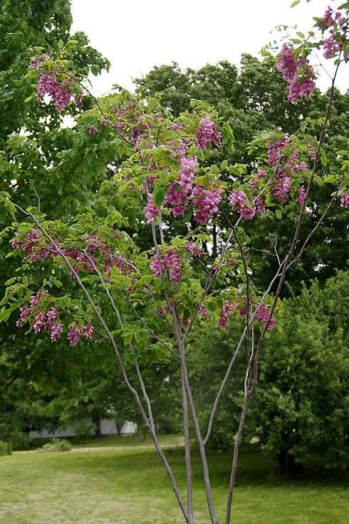 Purple Robe Locust Tree Purplerobetree_zps5c1621dd