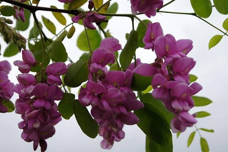 Purple Robe Locust Tree Purplerobetreeupclose_zps0fcba8fe