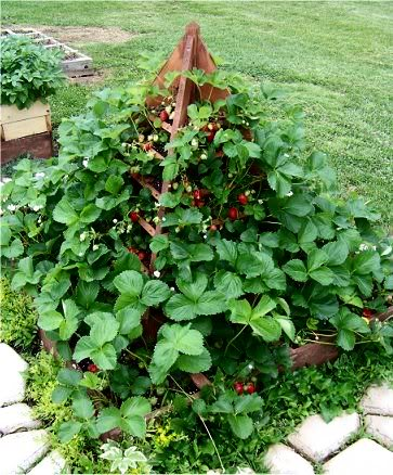 Strawberry tree plans 5-14-10strawberrytree