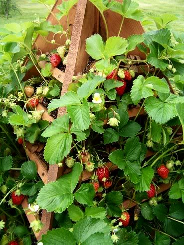 Strawberry tree plans 5-14