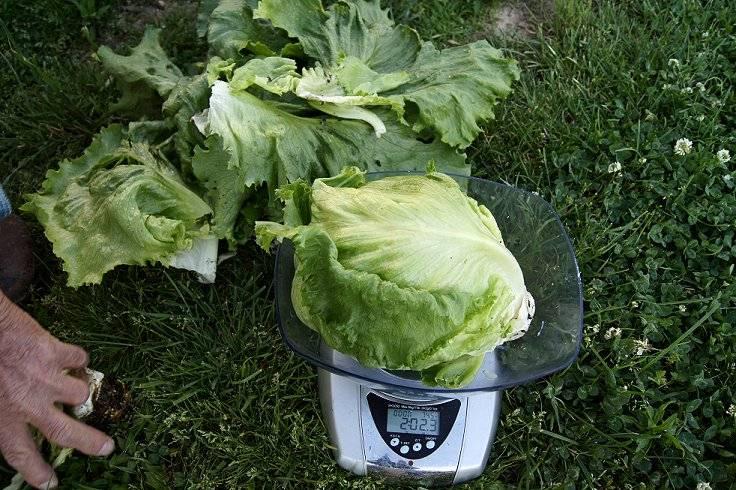 Lettuce Biglettuce