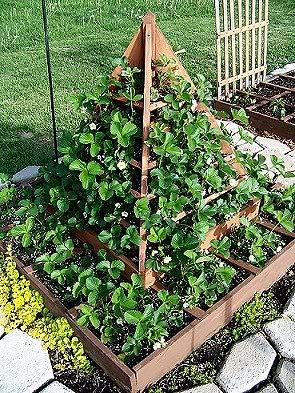 Strawberry tree plans Strawberries4-18-10