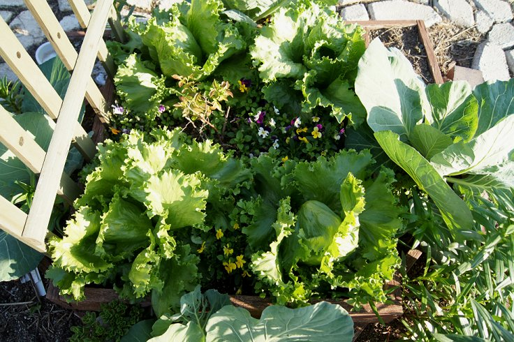 3 Tier Garden Lettuce5-11-13_zps14cb7d63