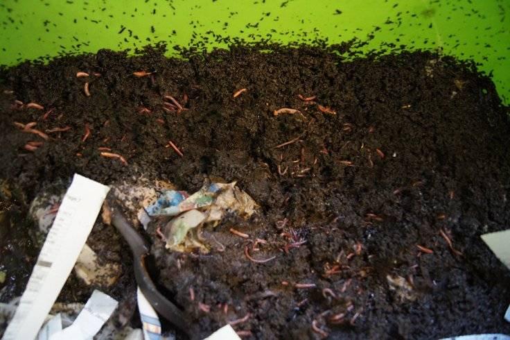 Making a cheap worm bin Worms2_zpsf7fabc7b
