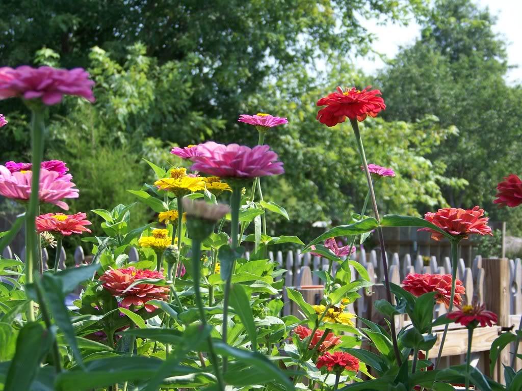 Zinnias are Josh's favorite flower 036_1