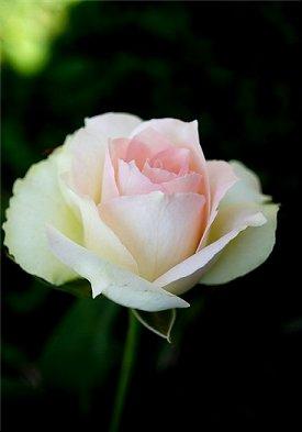 Mint Julep Rose MintJulepRosesmall_zps42efbaae