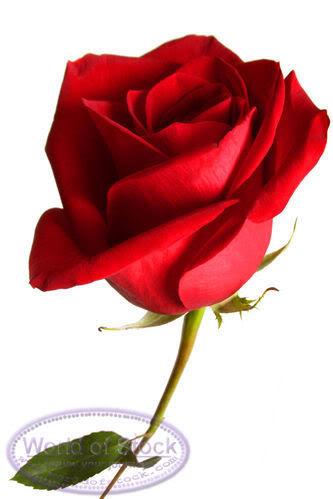 love rose flower Love-2