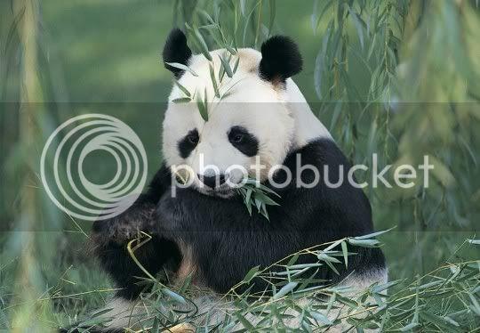 1 de plus en moins pour le panda 135920-20Panda2010020pc