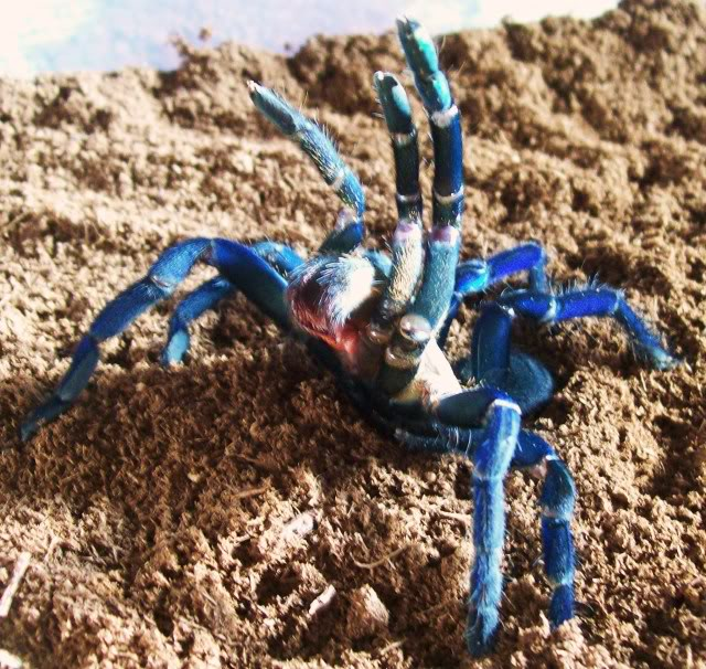 Cobalt Blue tarantula 009-1