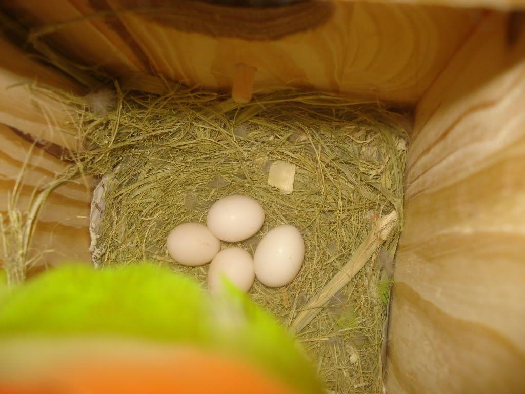 mis agapornis an puesto un huevo - Página 2 DSC00881