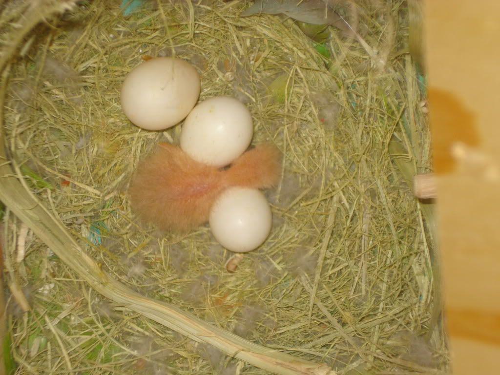 mis agapornis an puesto un huevo - Página 3 DSC00928