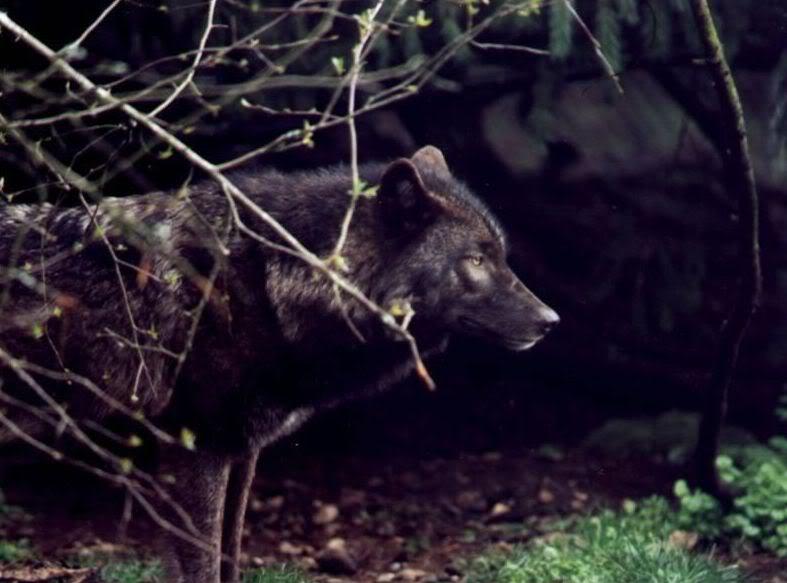 High Hills Pack Wolf-27
