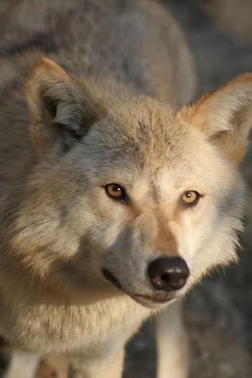 High Hills Pack Wolf-3
