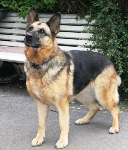 Tia a GSD being fostered by Four Paws Animal Rescue  IMG_0088