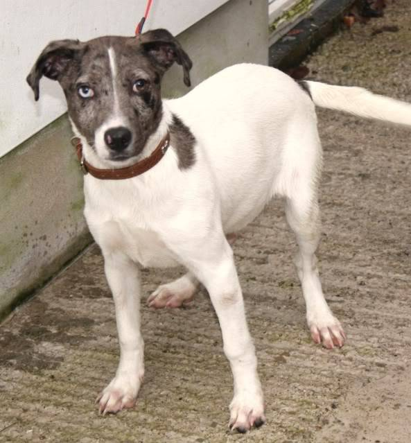 Megan 5 month old X breed fostered by Four Paws Animal Rescue (South Wales) IMG_6597